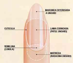 anatomia unghiei